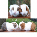 Plush Stuffed Realistic Guinea Pigs